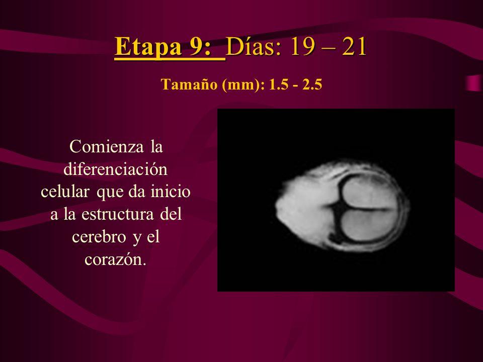 Etapa 9: Días: 19 – 21 Etapa 9: Días: 19 – 21 Tamaño (mm): 1.5 - 2.5 Comienza la diferenciación celular que da inicio a la estructura del cerebro y el