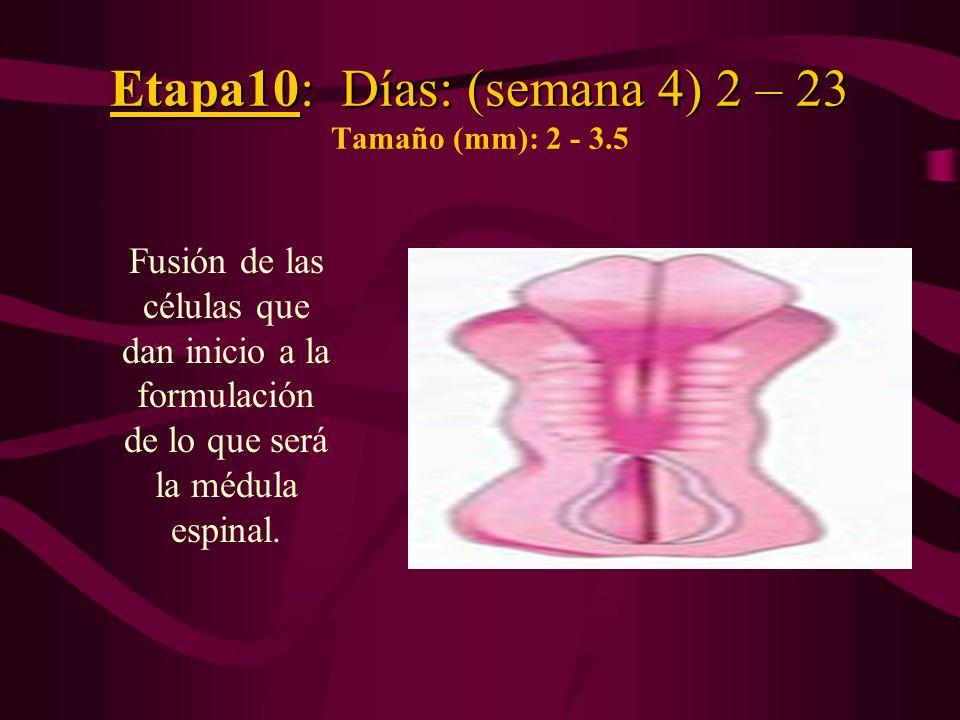 Etapa10: Días: (semana 4) 2 – 23 Etapa10: Días: (semana 4) 2 – 23 Tamaño (mm): 2 - 3.5 Fusión de las células que dan inicio a la formulación de lo que
