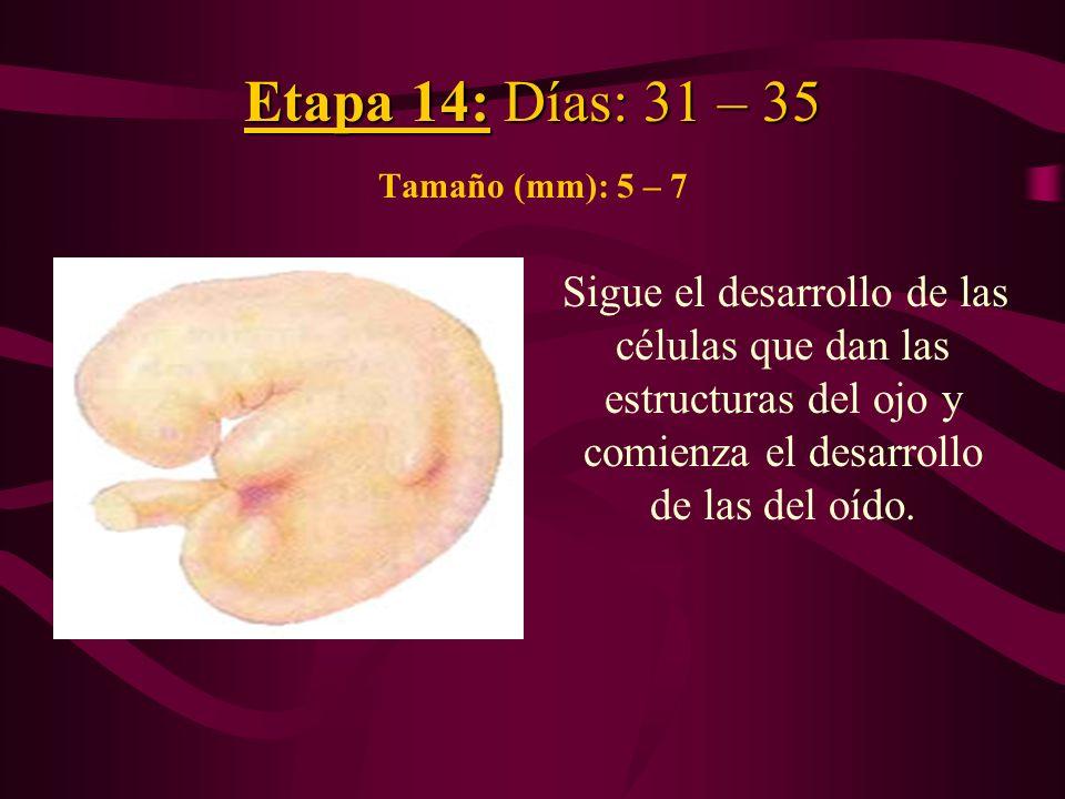 Etapa 14: Días: 31 – 35 Etapa 14: Días: 31 – 35 Tamaño (mm): 5 – 7 Sigue el desarrollo de las células que dan las estructuras del ojo y comienza el de