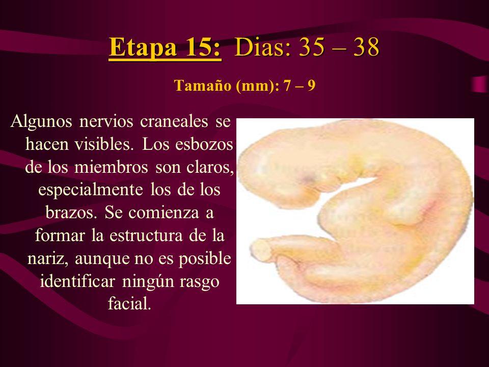Etapa 15: Dias: 35 – 38 Etapa 15: Dias: 35 – 38 Tamaño (mm): 7 – 9 Algunos nervios craneales se hacen visibles. Los esbozos de los miembros son claros