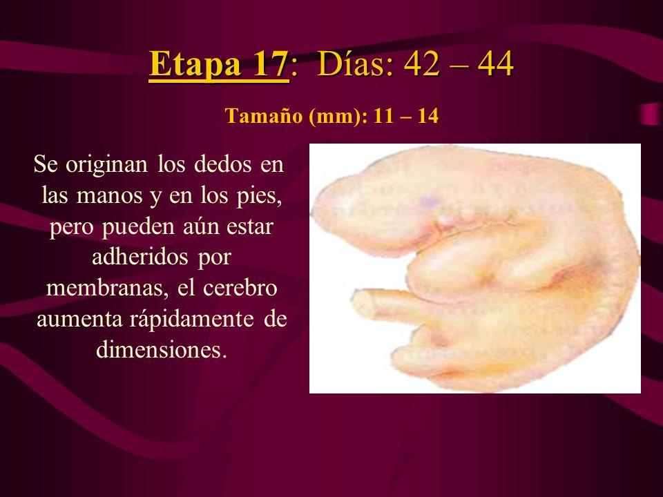 Etapa 17: Días: 42 – 44 Etapa 17: Días: 42 – 44 Tamaño (mm): 11 – 14 Se originan los dedos en las manos y en los pies, pero pueden aún estar adheridos