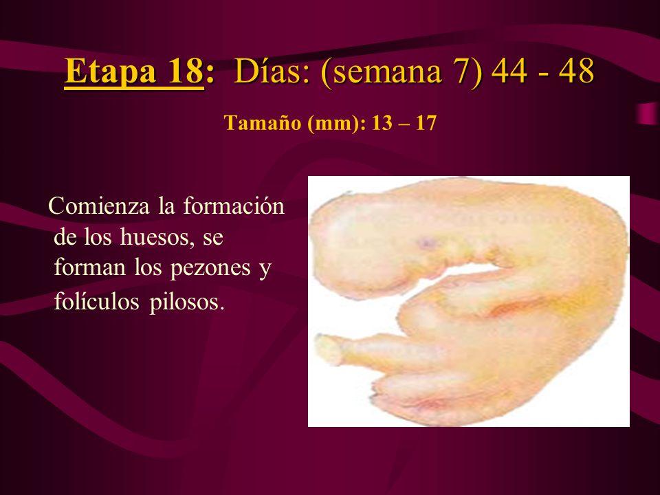 Etapa 18: Días: (semana 7) 44 - 48 Etapa 18: Días: (semana 7) 44 - 48 Tamaño (mm): 13 – 17 Comienza la formación de los huesos, se forman los pezones