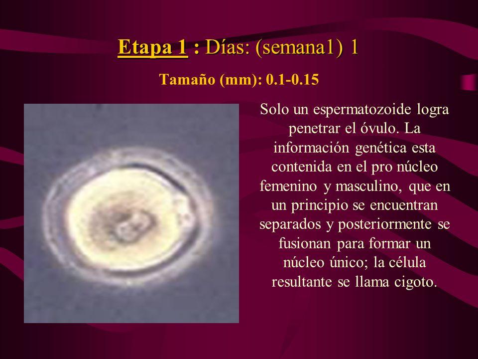 Etapa 1 : Días: (semana1) 1 Etapa 1 : Días: (semana1) 1 Tamaño (mm): 0.1-0.15 Solo un espermatozoide logra penetrar el óvulo. La información genética