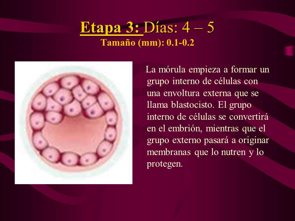 Etapa 3: Días: 4 – 5 Etapa 3: Días: 4 – 5 Tamaño (mm): 0.1-0.2 La mórula empieza a formar un grupo interno de células con una envoltura externa que se