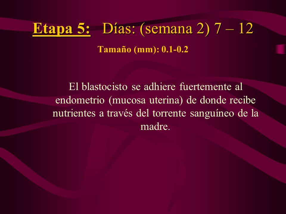 Etapa 5: Días: (semana 2) 7 – 12 Etapa 5: Días: (semana 2) 7 – 12 Tamaño (mm): 0.1-0.2 El blastocisto se adhiere fuertemente al endometrio (mucosa ute