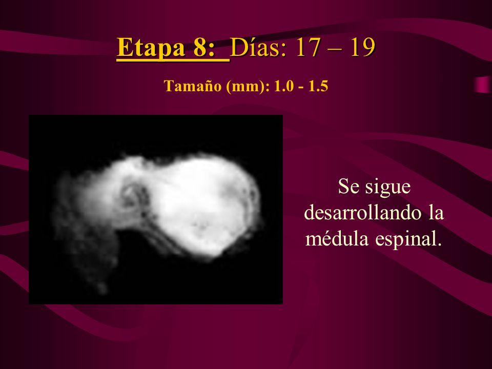 Etapa 8: Días: 17 – 19 Etapa 8: Días: 17 – 19 Tamaño (mm): 1.0 - 1.5 Se sigue desarrollando la médula espinal.