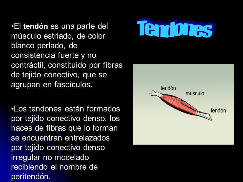 El tendón es una parte del músculo estriado, de color blanco perlado, de consistencia fuerte y no contráctil, constituido por fibras de tejido conecti