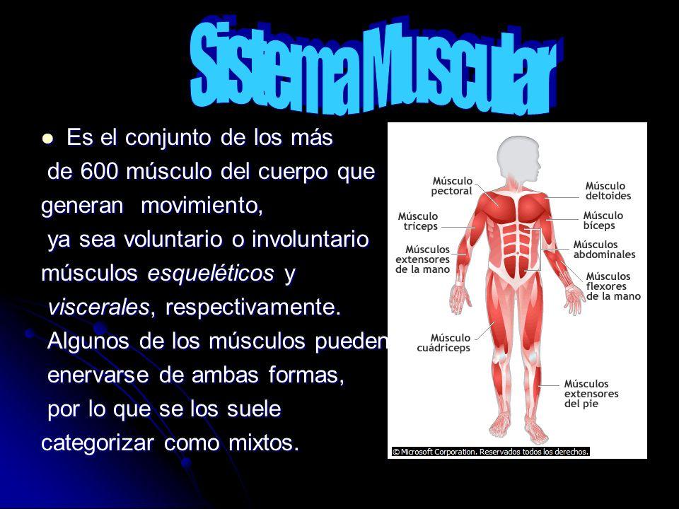 Es el conjunto de los más Es el conjunto de los más de 600 músculo del cuerpo que de 600 músculo del cuerpo que generan movimiento, ya sea voluntario