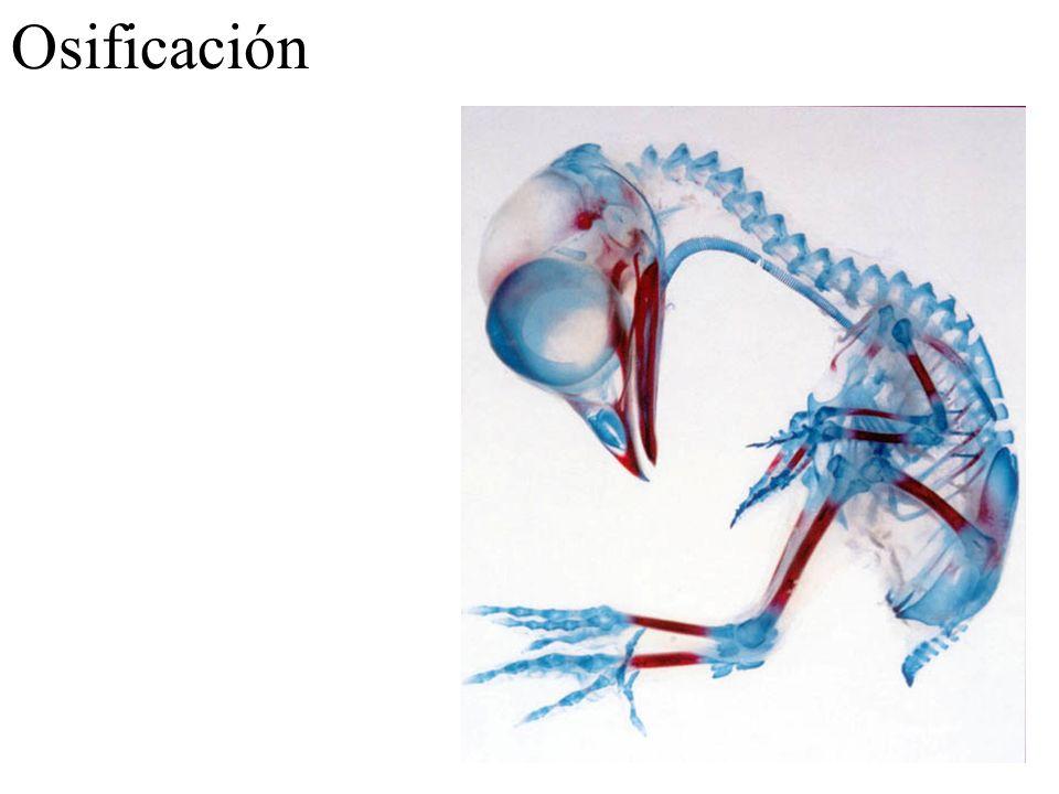 Hueso compacto: osteonas