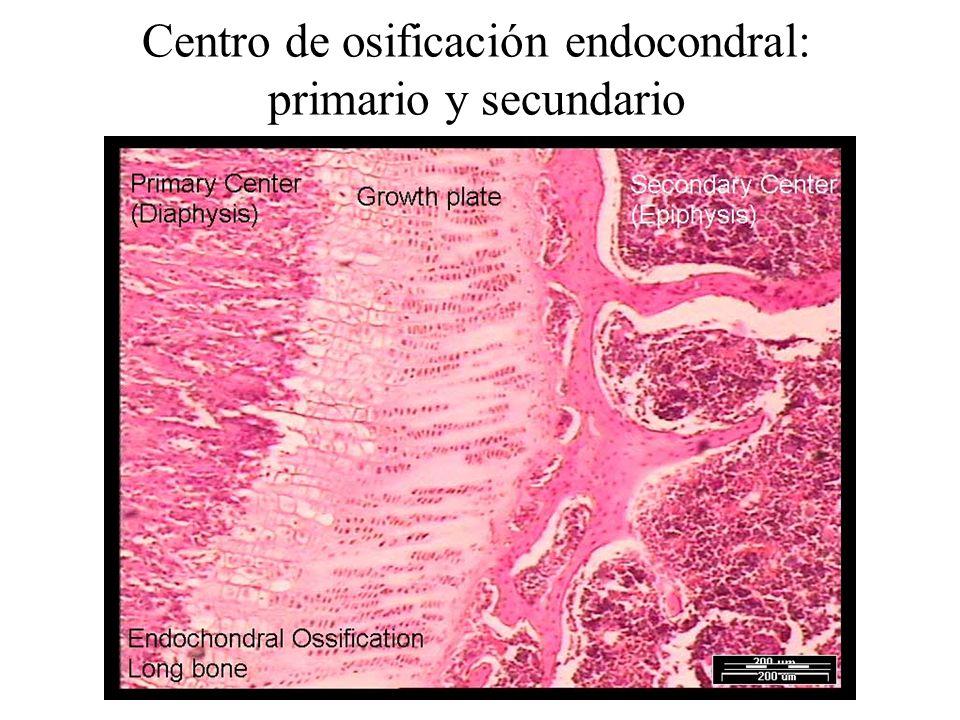 Centro de osificación endocondral: primario y secundario