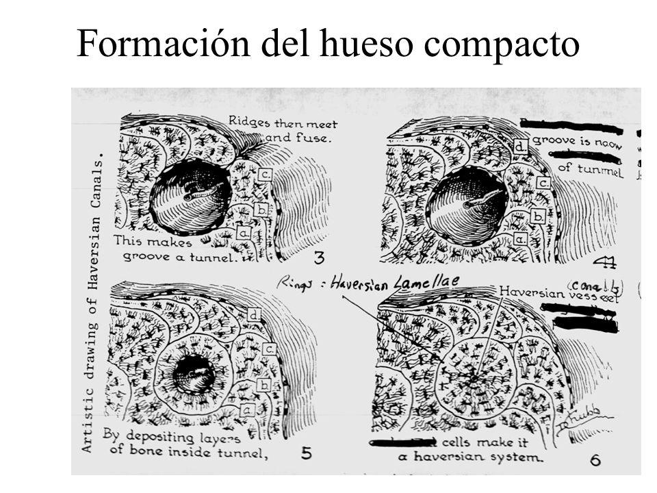 Formación del hueso compacto