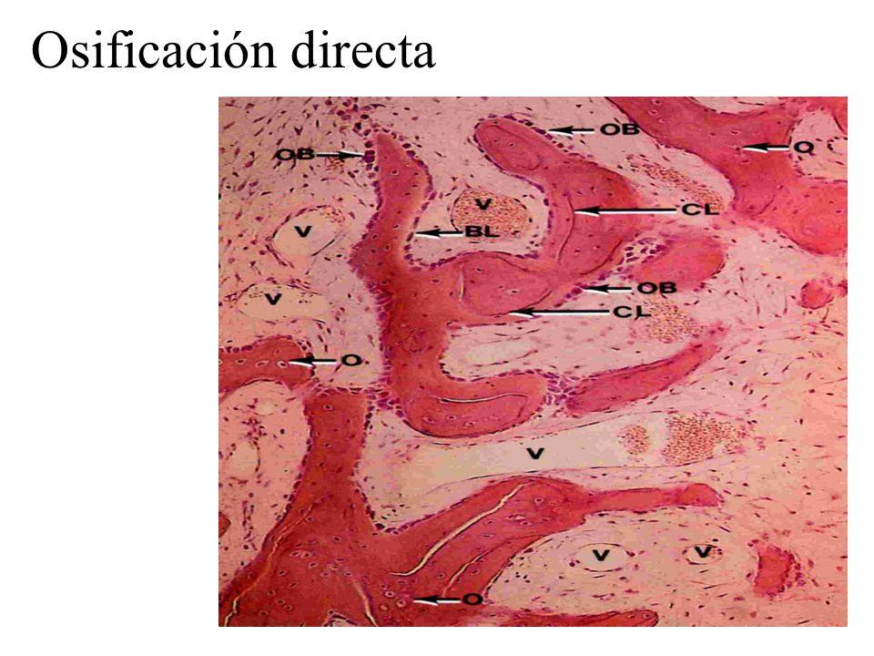 Osificación endocondral: metáfisis