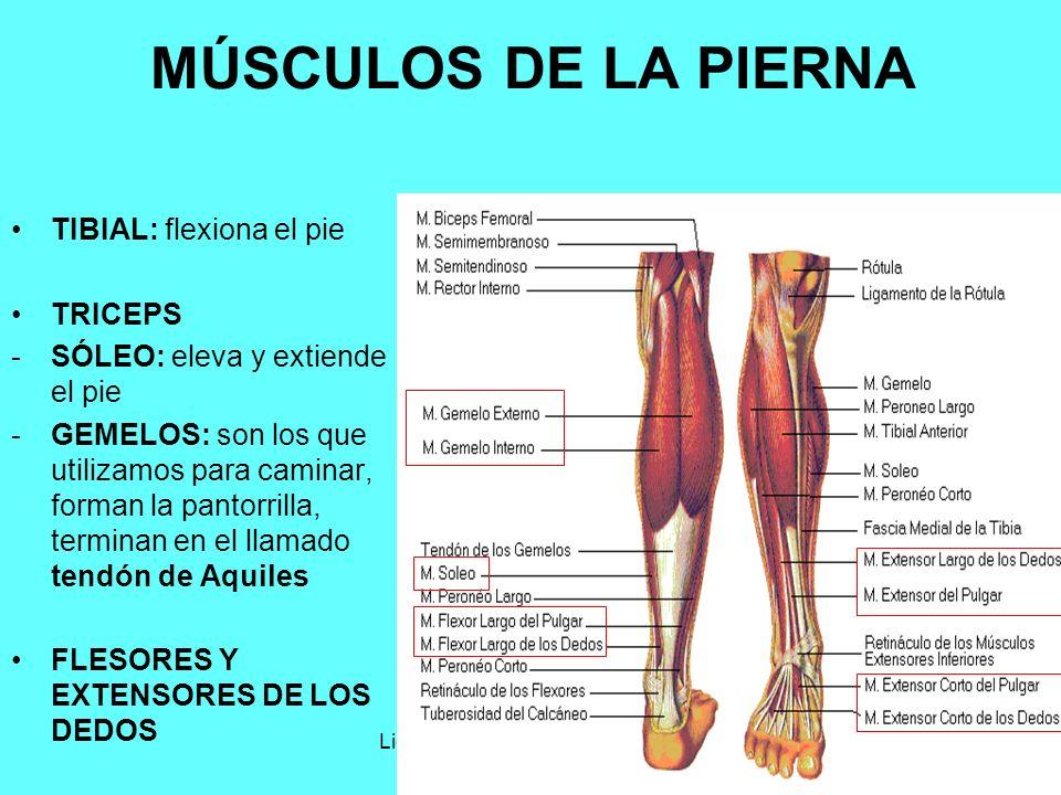 Lic. Angélica Castañdeda Duarte14 MÚSCULOS DE LA PIERNA TIBIAL: flexiona el pie TRICEPS -SÓLEO: eleva y extiende el pie -GEMELOS: son los que utilizam