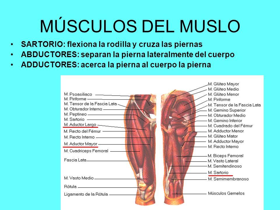 Lic. Angélica Castañdeda Duarte9 MÚSCULOS DEL MUSLO SARTORIO: flexiona la rodilla y cruza las piernas ABDUCTORES: separan la pierna lateralmente del c