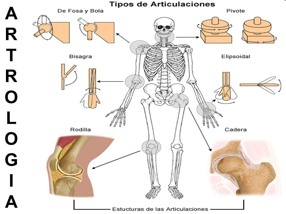 Las Articulaciones son: El conjunto de partes blandas y duras que constituyen la unión entre: Dos o más huesos Entre cartílagos y huesos Entre dientes y huesos.