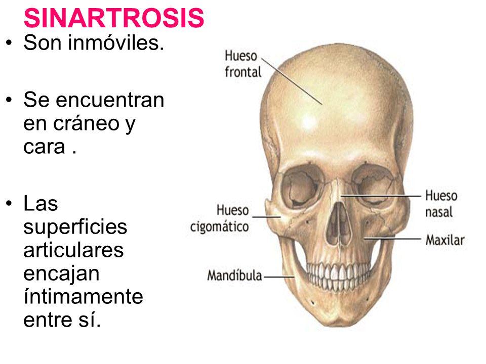 SINARTROSIS Son inmóviles. Se encuentran en cráneo y cara. Las superficies articulares encajan íntimamente entre sí.