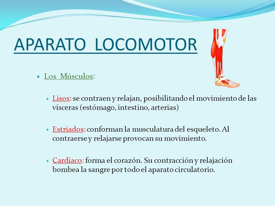 APARATO LOCOMOTOR Los Músculos: Lisos: se contraen y relajan, posibilitando el movimiento de las vísceras (estómago, intestino, arterias) Estriados: conforman la musculatura del esqueleto.