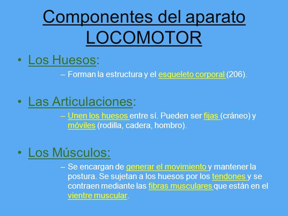 Aparato LOCOMOTOR Su función principal es: –Cuando llegan los nutrientes y el oxígeno a los músculos esos ya son capaces de contraerse y relajarse par