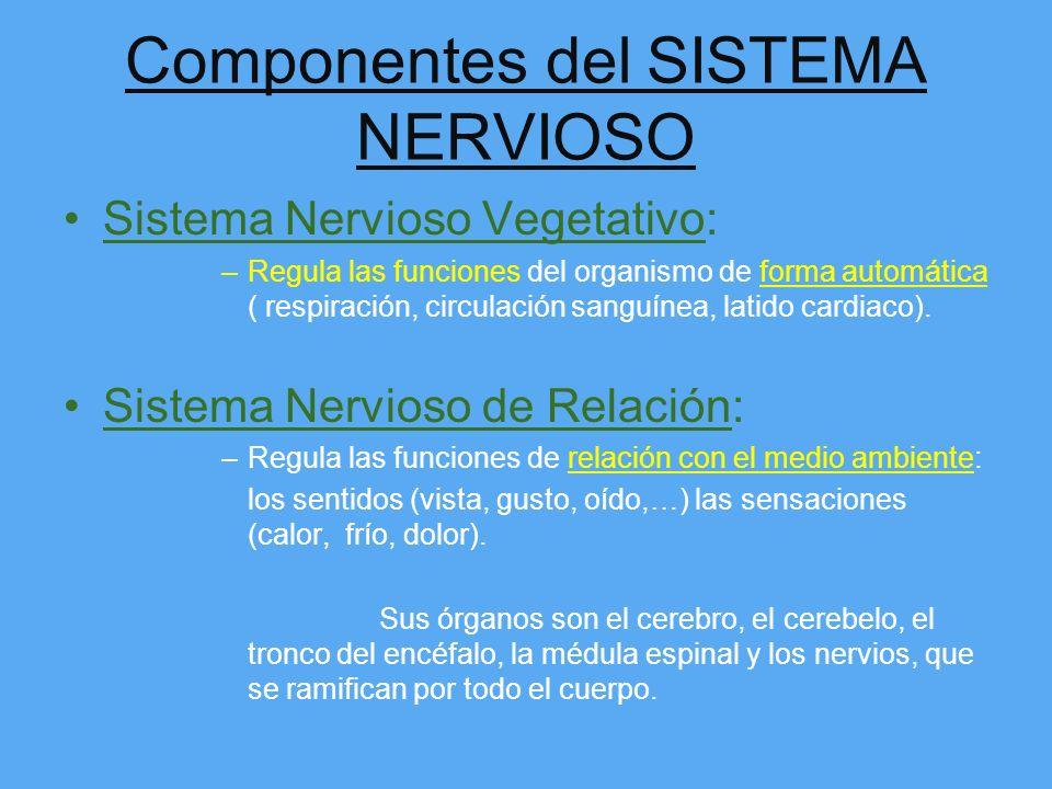 El Sistema NERVIOSO Su función principal es: –Dar y coordinar las órdenes para que el movimiento se produzca. –Regular las funciones del organismo hum