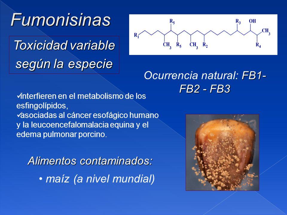 Fumonisinas FB1- FB2 - FB3 Ocurrencia natural: FB1- FB2 - FB3 Toxicidad variable según la especie Alimentos contaminados: maíz (a nivel mundial) interfieren en el metabolismo de los esfingolípidos, asociadas al cáncer esofágico humano y la leucoencefalomalacia equina y el edema pulmonar porcino.
