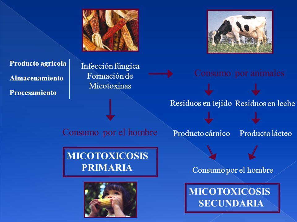 Producto agrícola Procesamiento Almacenamiento Infección fúngica Formación de Micotoxinas Consumo por animales Consumo por el hombre Residuos en tejido Residuos en leche Producto cárnicoProducto lácteo Consumo por el hombre MICOTOXICOSIS SECUNDARIA MICOTOXICOSIS PRIMARIA