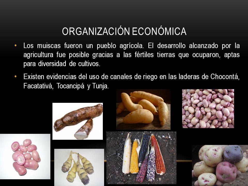ORGANIZACIÓN ECONÓMICA Los muiscas fueron un pueblo agrícola. El desarrollo alcanzado por la agricultura fue posible gracias a las fértiles tierras qu