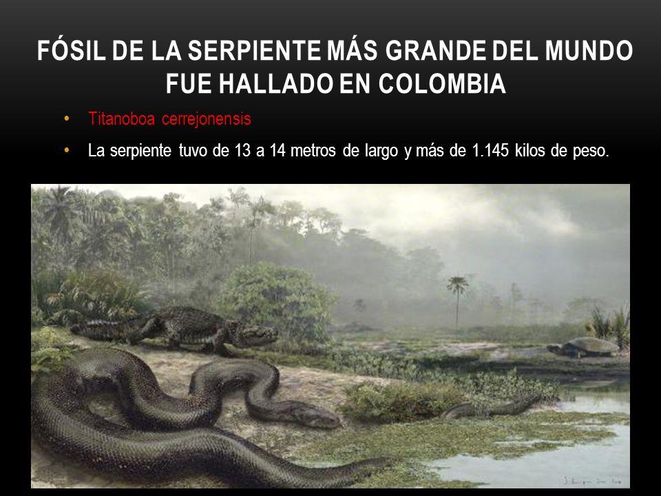 FÓSIL DE LA SERPIENTE MÁS GRANDE DEL MUNDO FUE HALLADO EN COLOMBIA Titanoboa cerrejonensis La serpiente tuvo de 13 a 14 metros de largo y más de 1.145