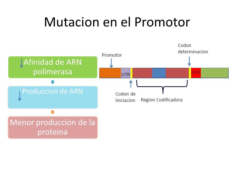 Mutaciones del Sitio de Ensamblaje Region Codificadora UTR Promotor Codon de iniciacion Codon de Terminacion exon En uniones intron-exon Altera las senales de ensamblaje para la excision del intron En: GT del sitio dominante 5 AG del sitio receptor 3 Sitios de ensamblaje ocultos
