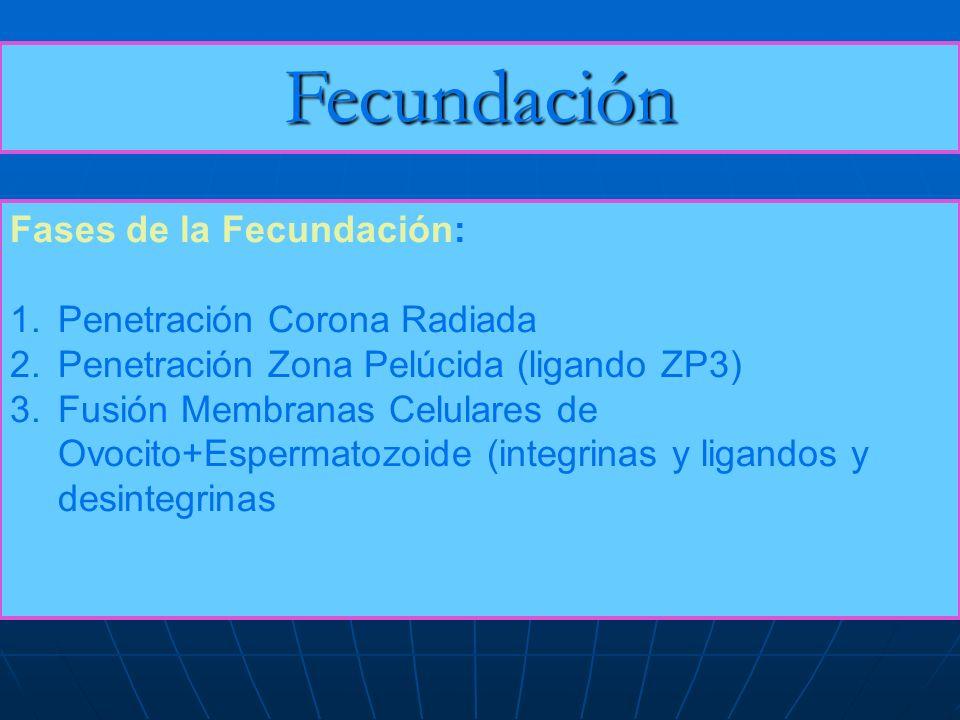 Fecundación Fases de la Fecundación: 1.Penetración Corona Radiada 2.Penetración Zona Pelúcida (ligando ZP3) 3.Fusión Membranas Celulares de Ovocito+Es