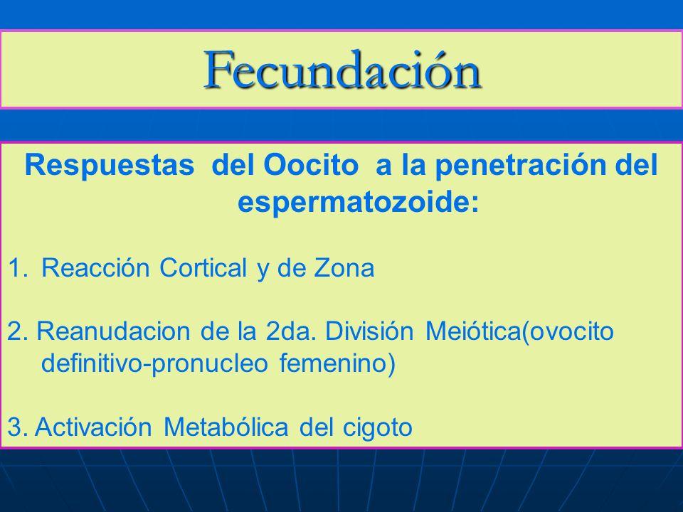 Fecundación Respuestas del Oocito a la penetración del espermatozoide: 1.Reacción Cortical y de Zona 2. Reanudacion de la 2da. División Meiótica(ovoci
