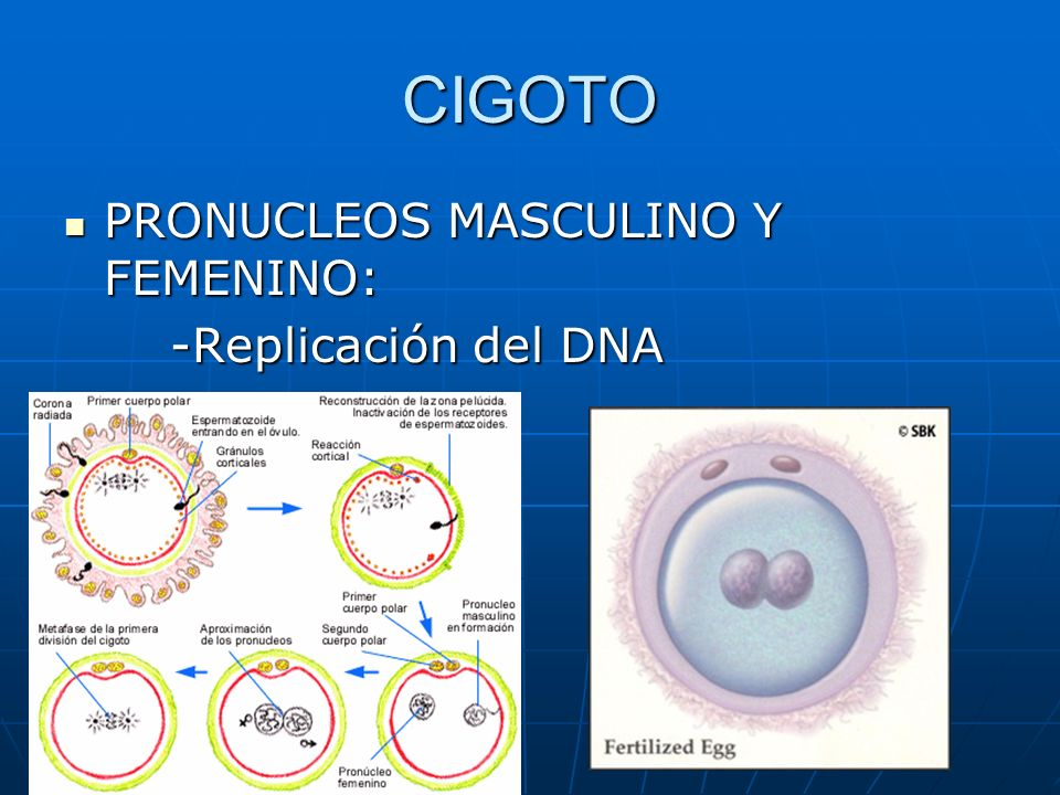 CIGOTO PRONUCLEOS MASCULINO Y FEMENINO: PRONUCLEOS MASCULINO Y FEMENINO: -Replicación del DNA