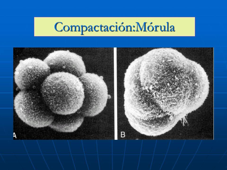 Compactación:Mórula