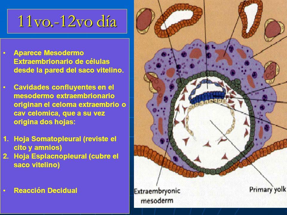 11vo.-12vo día Aparece Mesodermo Extraembrionario de células desde la pared del saco vitelino. Cavidades confluyentes en el mesodermo extraembrionario