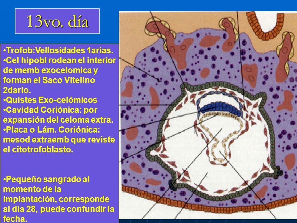 13vo. día Trofob:Vellosidades 1arias. Cel hipobl rodean el interior de memb exocelomica y forman el Saco Vitelino 2dario. Quistes Exo-celómicos Cavida