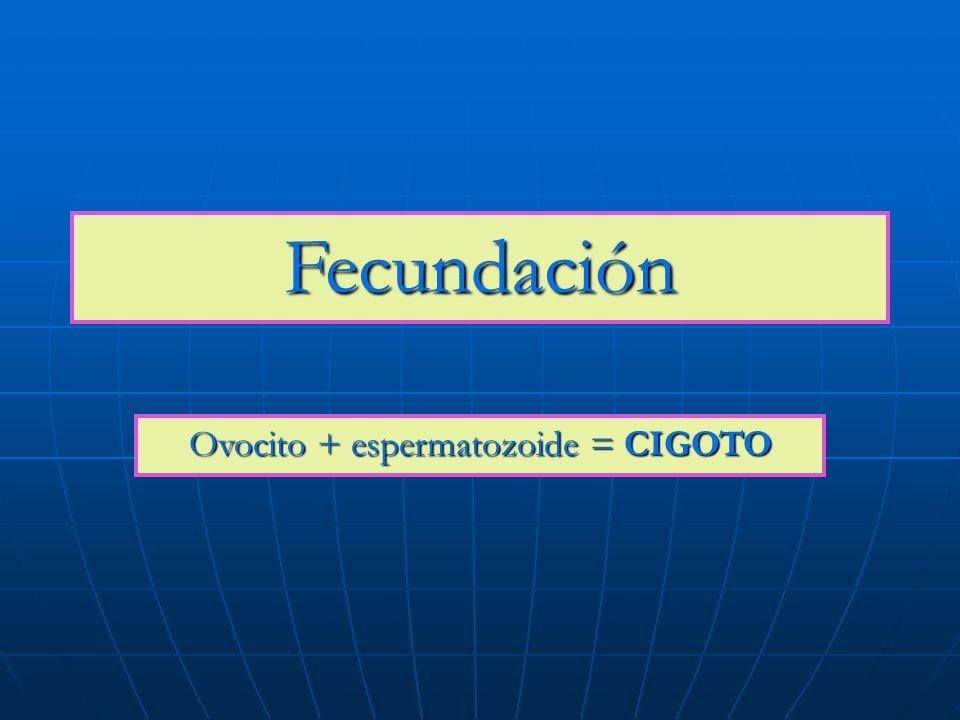 Fecundación Ovocito + espermatozoide = CIGOTO