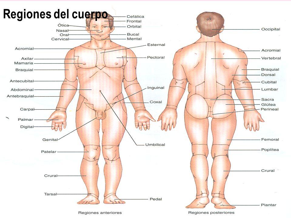 Regiones del cuerpo