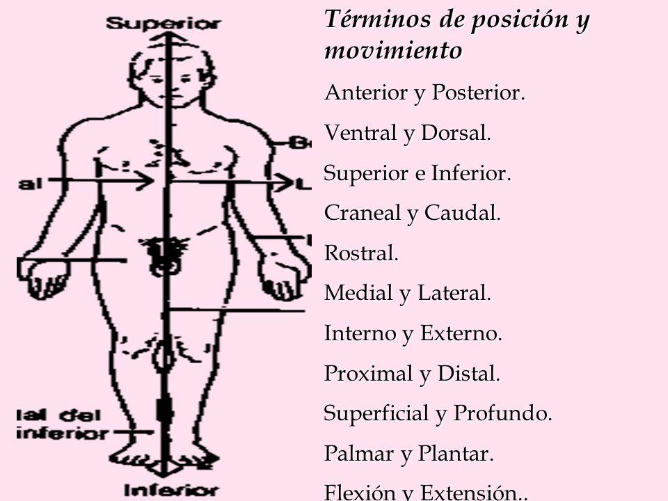 Términos de posición y movimiento Anterior y Posterior. Ventral y Dorsal. Superior e Inferior. Craneal y Caudal. Rostral. Medial y Lateral. Interno y
