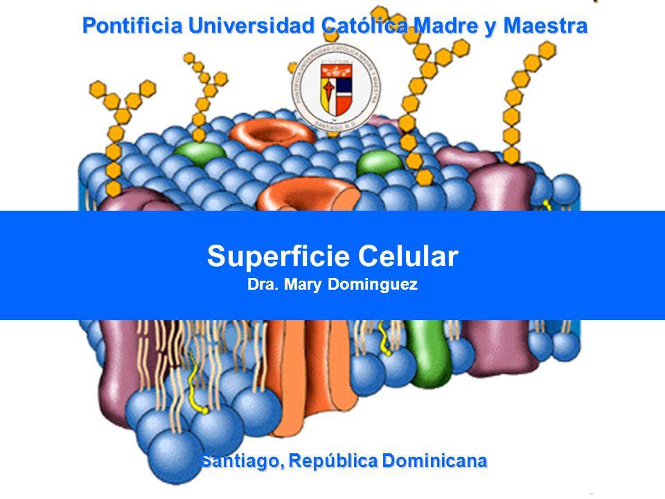 42 Uniones de tipo Gap -Células endoteliales -Células Epiteliales -Musculo cardiaco y Liso -Conexinas
