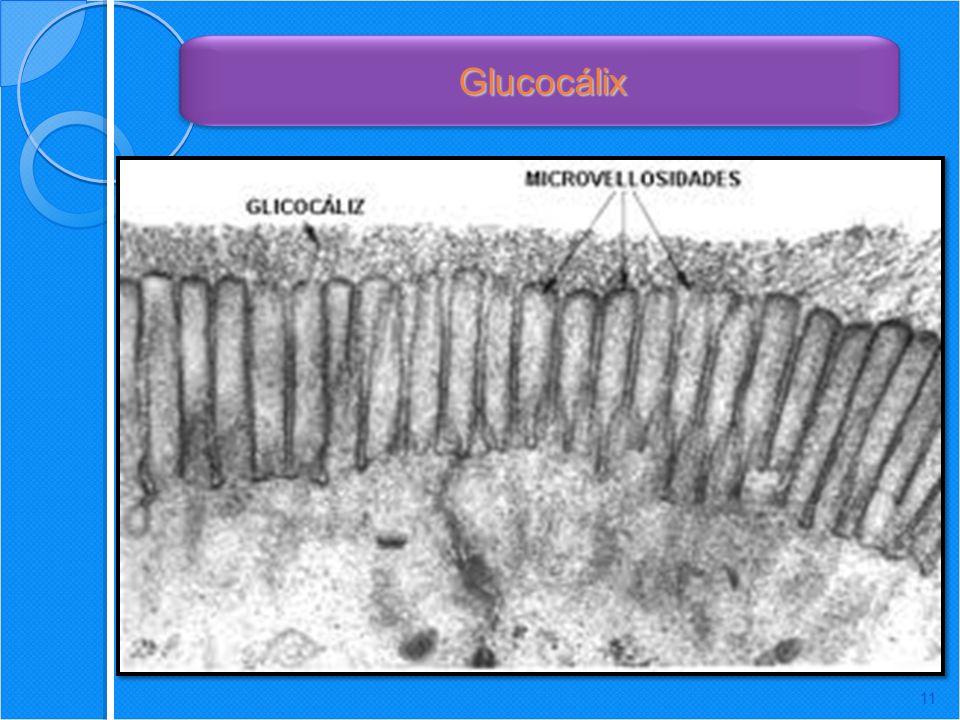 11 Glucocálix