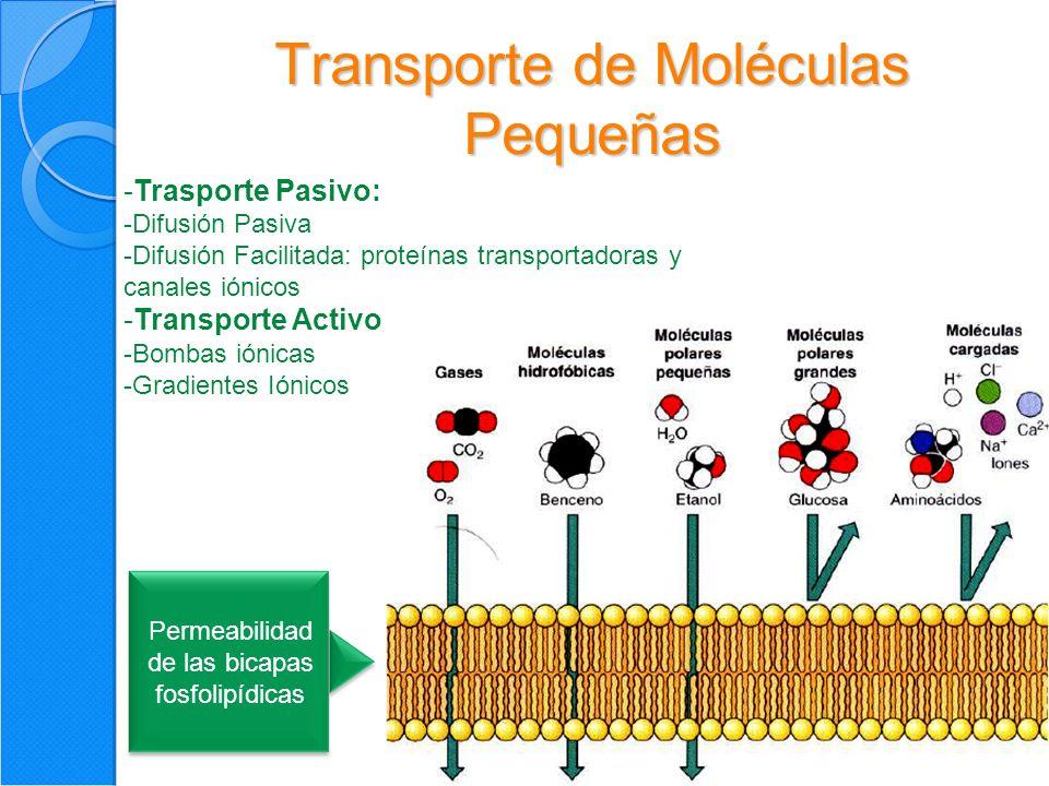 13 Transporte de Moléculas Pequeñas Permeabilidad de las bicapas fosfolipídicas -Trasporte Pasivo: -Difusión Pasiva -Difusión Facilitada: proteínas transportadoras y canales iónicos -Transporte Activo -Bombas iónicas -Gradientes Iónicos