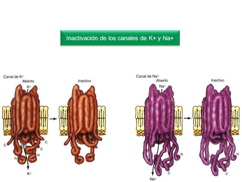 22 Inactivación de los canales de K+ y Na+