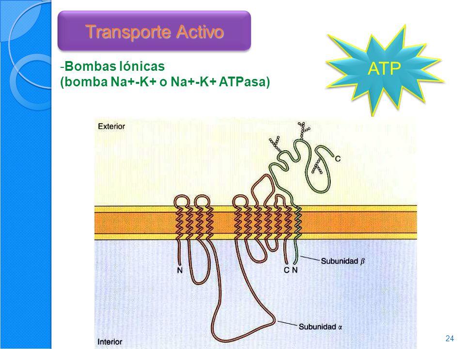 24 Transporte Activo ATP -Bombas Iónicas (bomba Na+-K+ o Na+-K+ ATPasa)