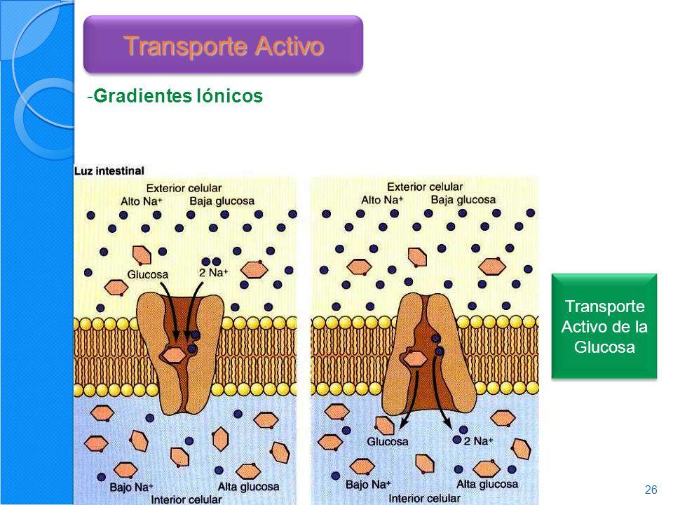 26 Transporte Activo -Gradientes Iónicos Transporte Activo de la Glucosa
