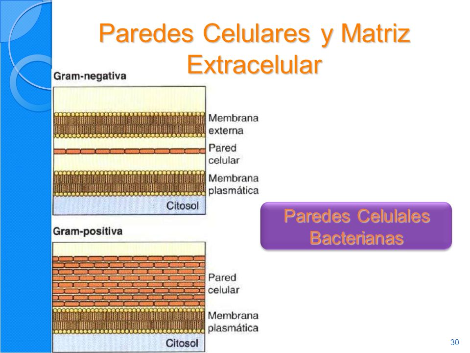 30 Paredes Celulares y Matriz Extracelular Paredes Celulales Bacterianas