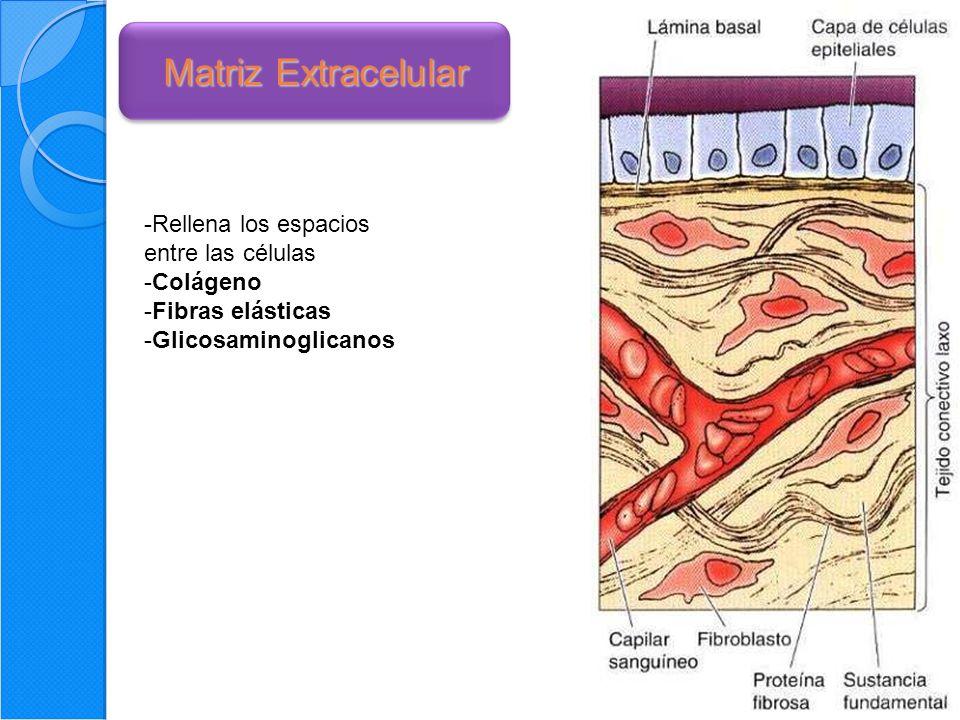 31 Matriz Extracelular -Rellena los espacios entre las células -Colágeno -Fibras elásticas -Glicosaminoglicanos