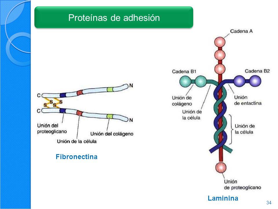 34 Fibronectina Laminina Proteínas de adhesión