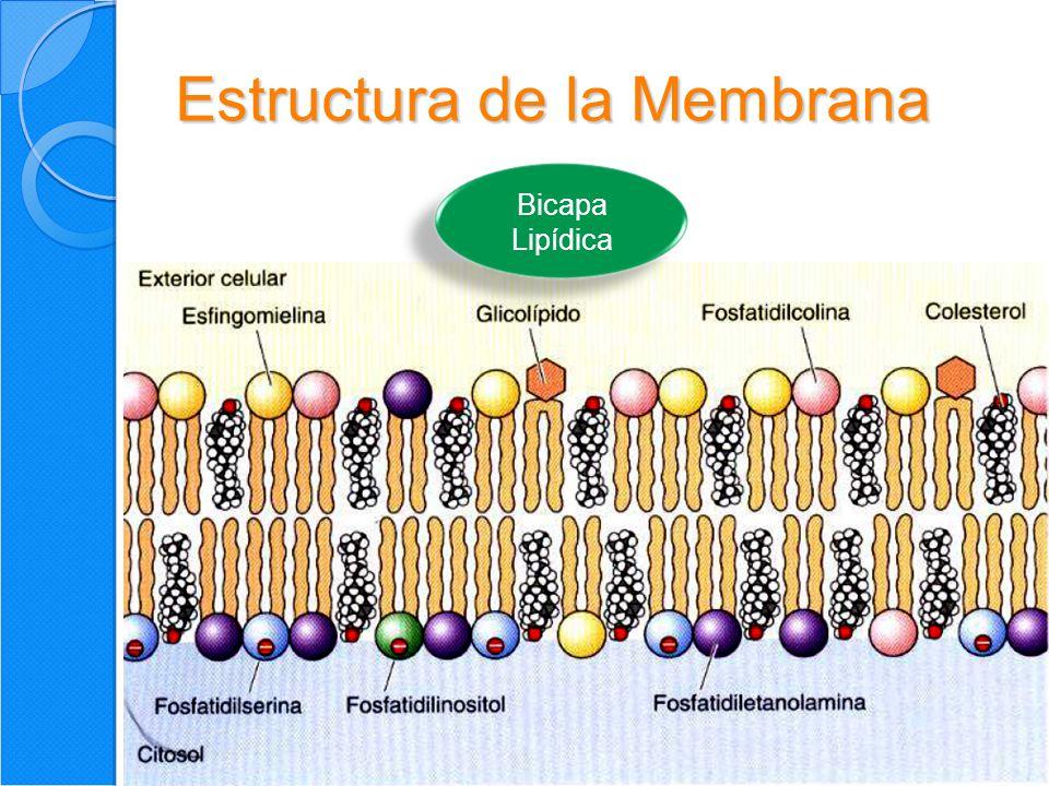 5 Estructura de la Membrana Características fundamentales 1.