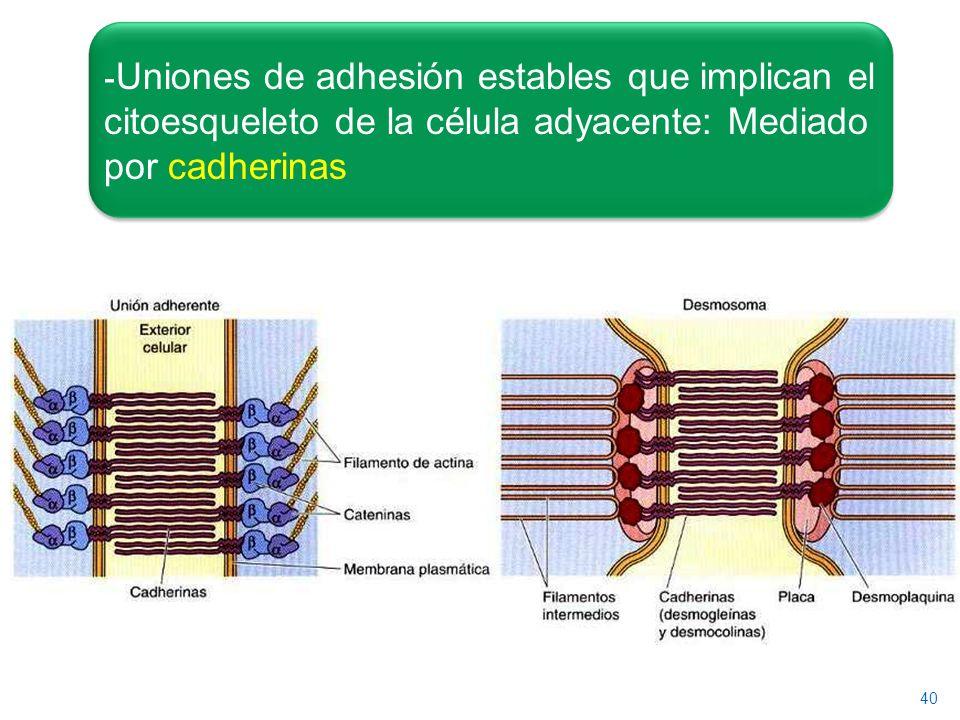 40 - Uniones de adhesión estables que implican el citoesqueleto de la célula adyacente: Mediado por cadherinas