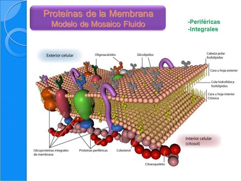 37 Interacciones Célula - Célula Proteínas de adhesión celular -Moléculas de adhesión celular: -selectinas -Integrinas -Súper familia de las Inmunoglobulinas -Cadherinas