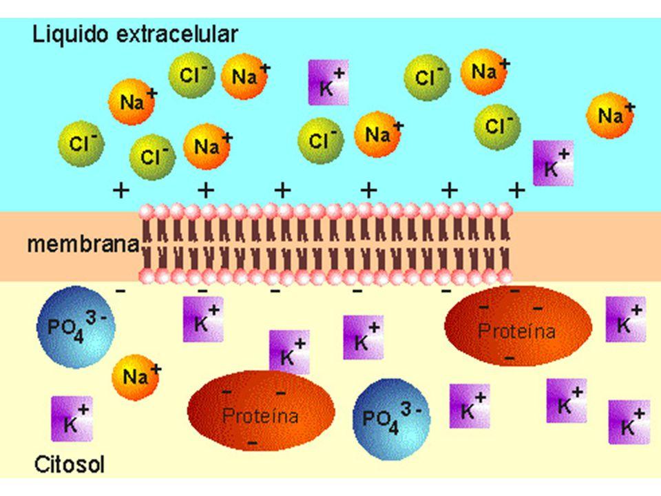 La membrana es una bicapa lipídica y, para poderla atravesar, se pasa a través de lípidos o de los poros preexistentes.
